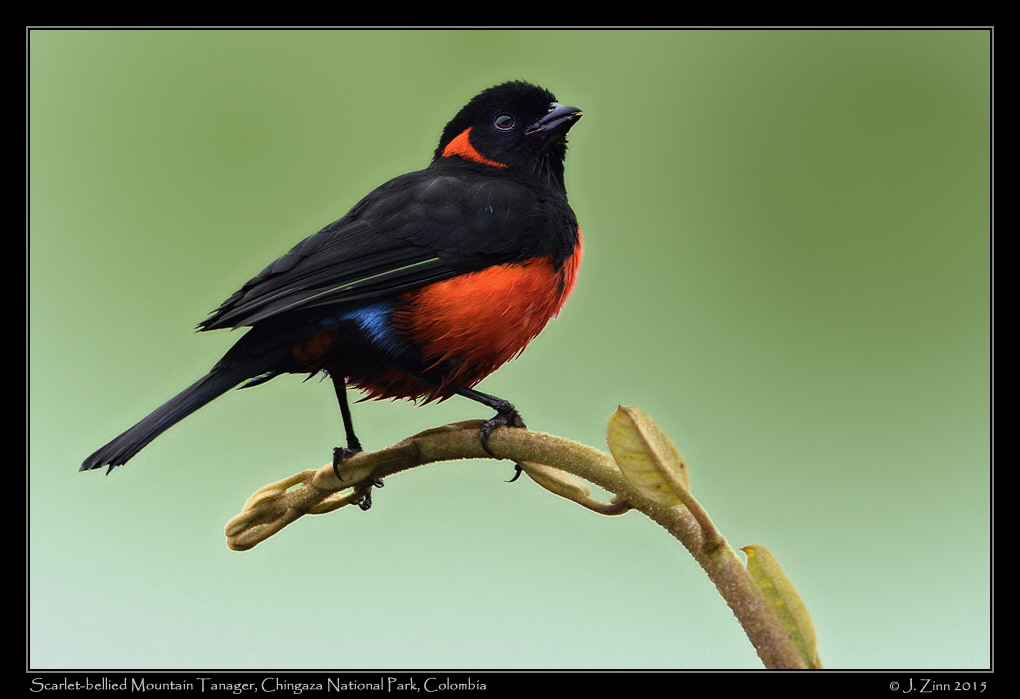 scarlet_bellied_mountain_tanager_9743agb
