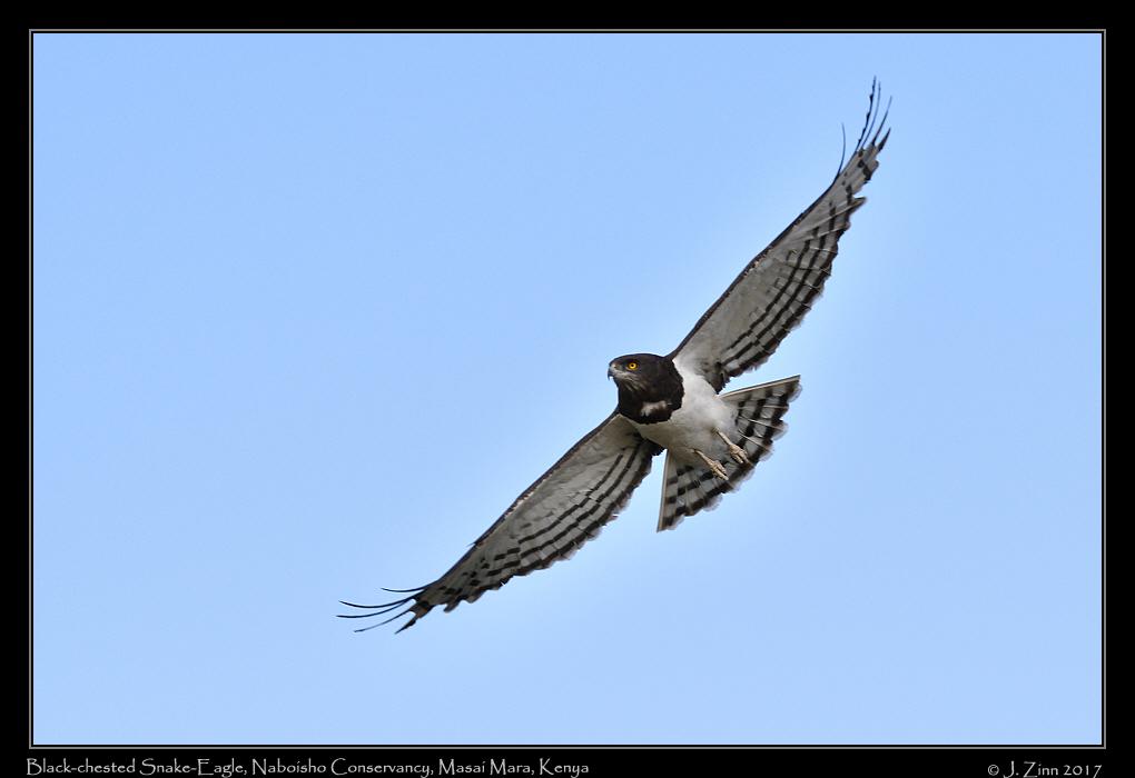 black_chested_snake_eagle_0686a.jpg