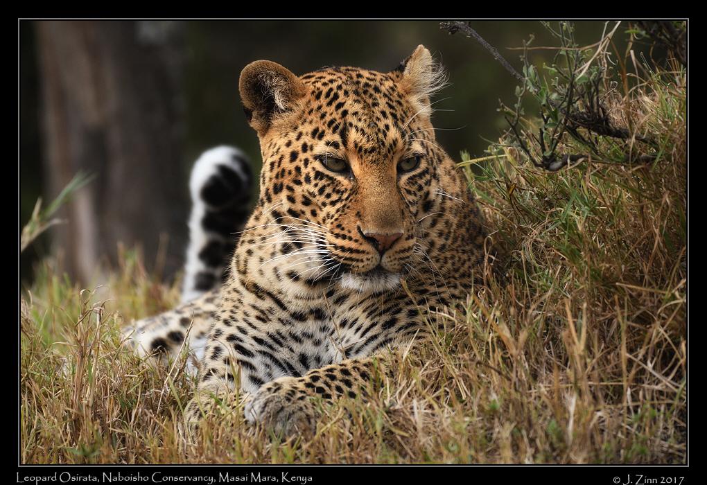 leopard_osirata_JZ5_1338a.jpg