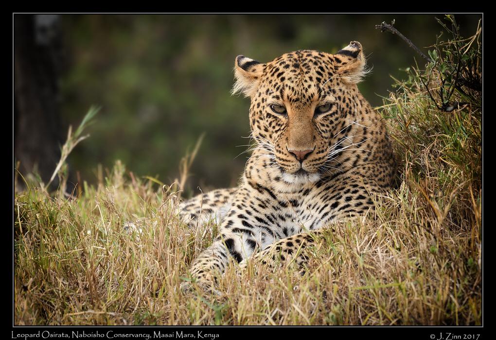 leopard_osirata_JZ5_1378a.jpg