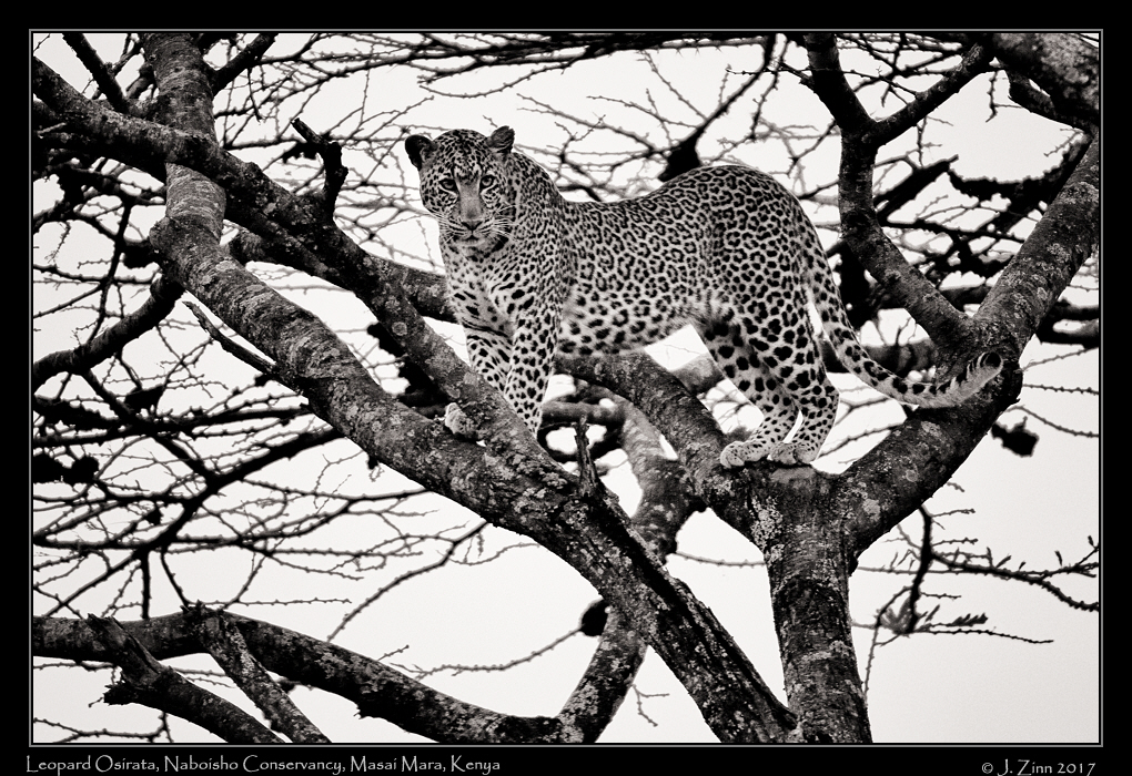 leopard_osirata_JZ5_1546bw.jpg