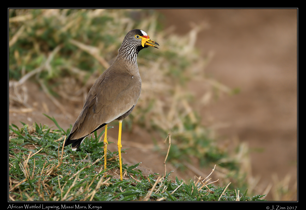 african_wattled_lapwing_2512a.jpg