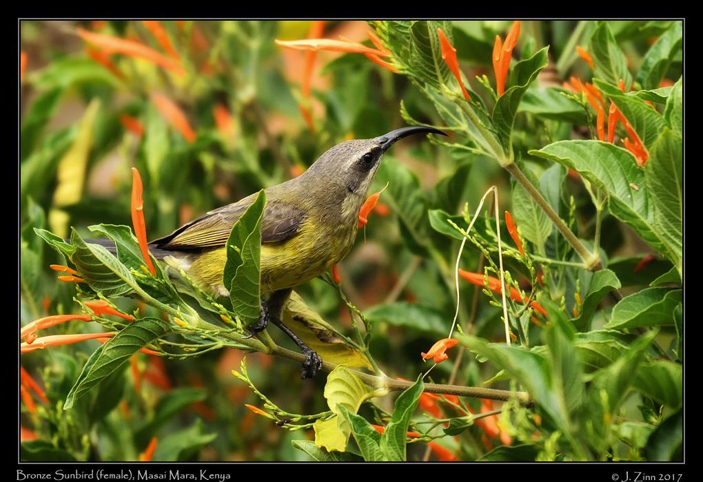 bronze_sunbird_5704adxo.jpg