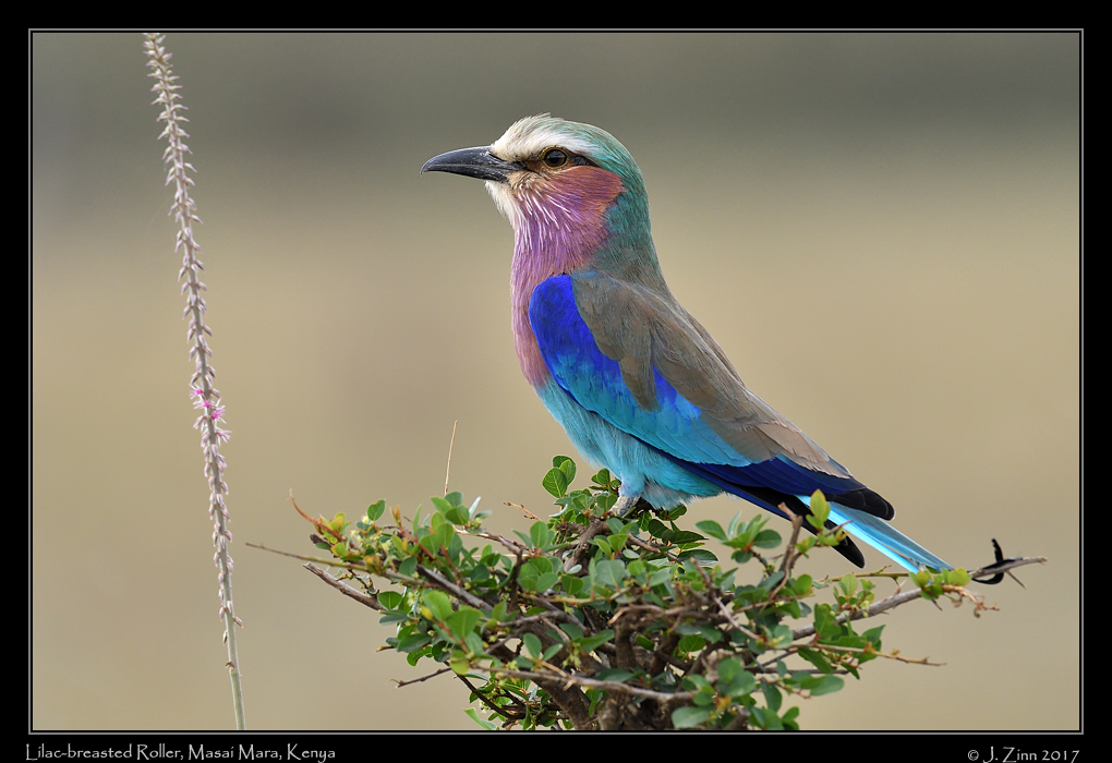lilac_breasted_roller_2986a.jpg