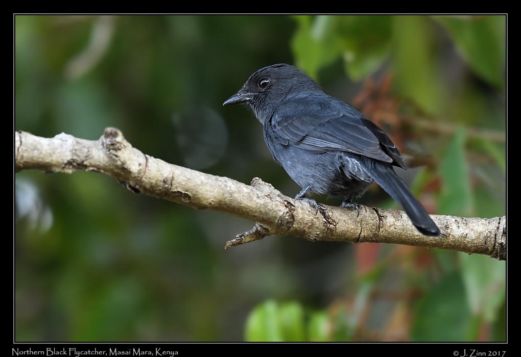 northern_black_flycatcher_2989a.jpg