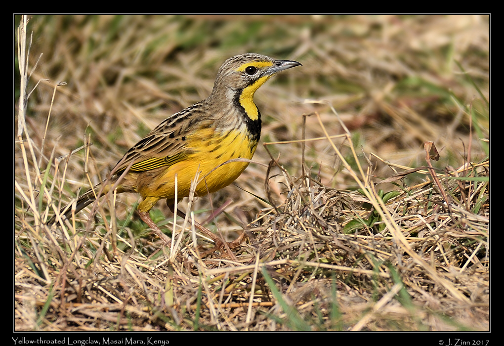 yellow_throated_longclaw_2560a.jpg