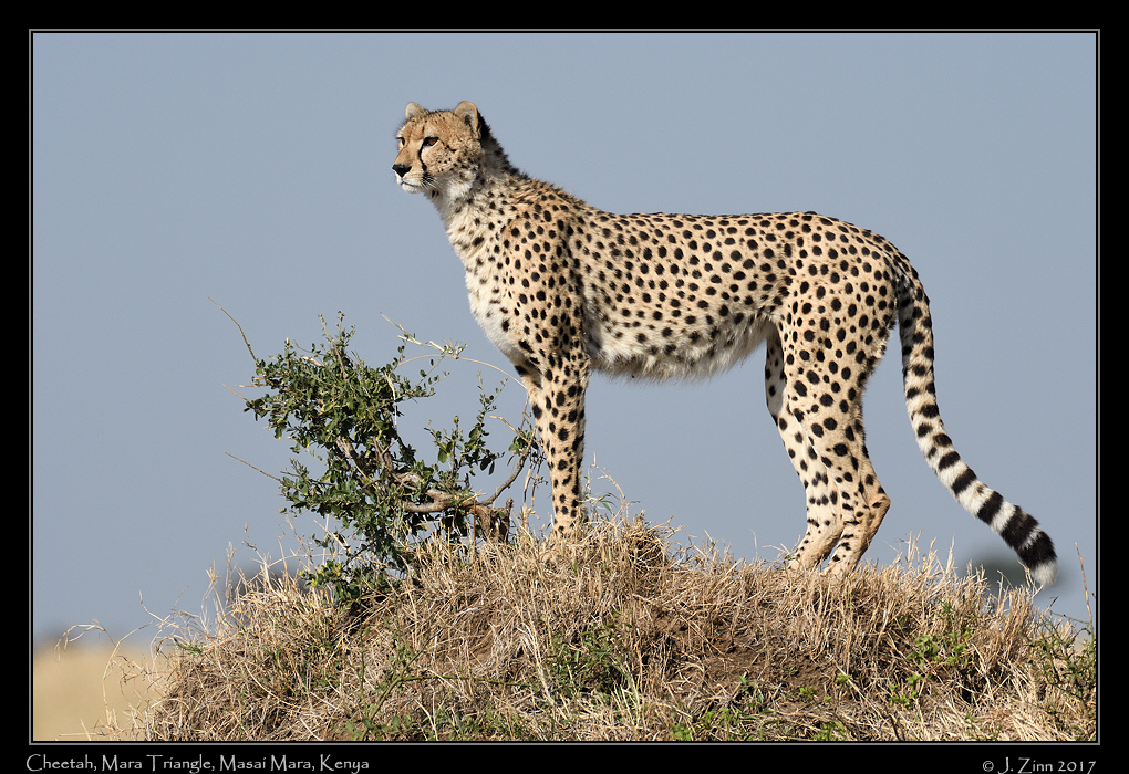 cheetah_JZ5_4061a.jpg