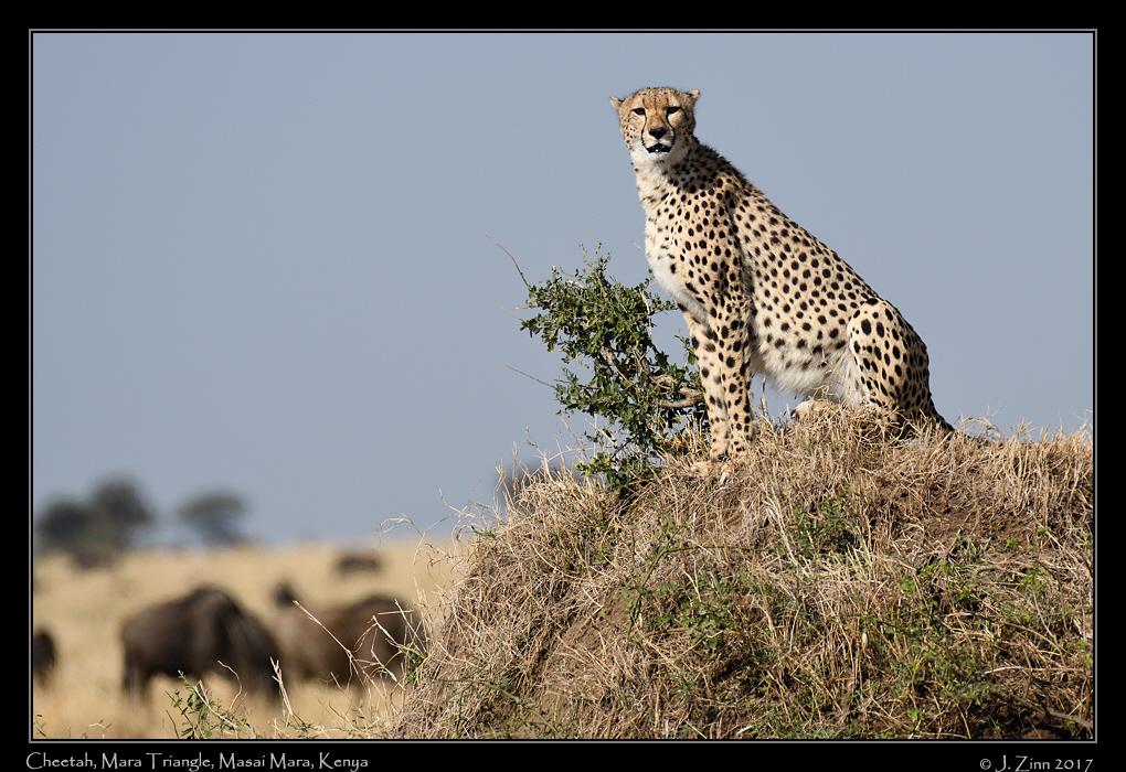 cheetah_JZ5_4117a.jpg