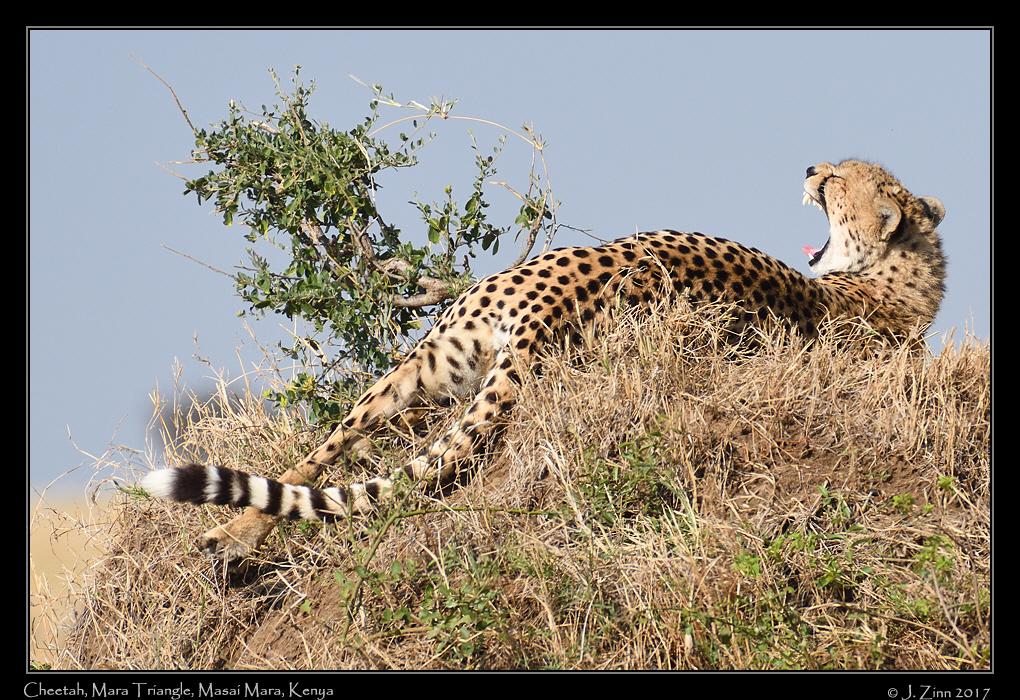 cheetah_JZ5_4124a.jpg