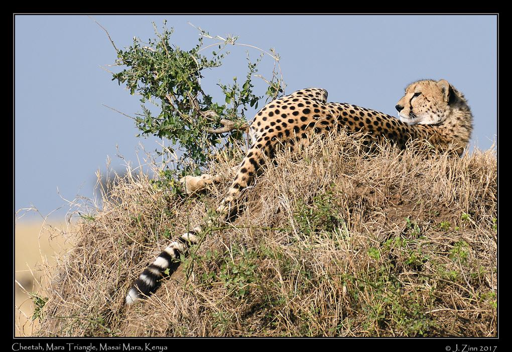 cheetah_JZ5_4126a.jpg