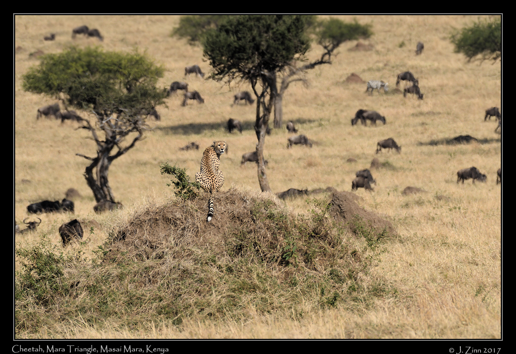 cheetah_JZ5_4127a.jpg