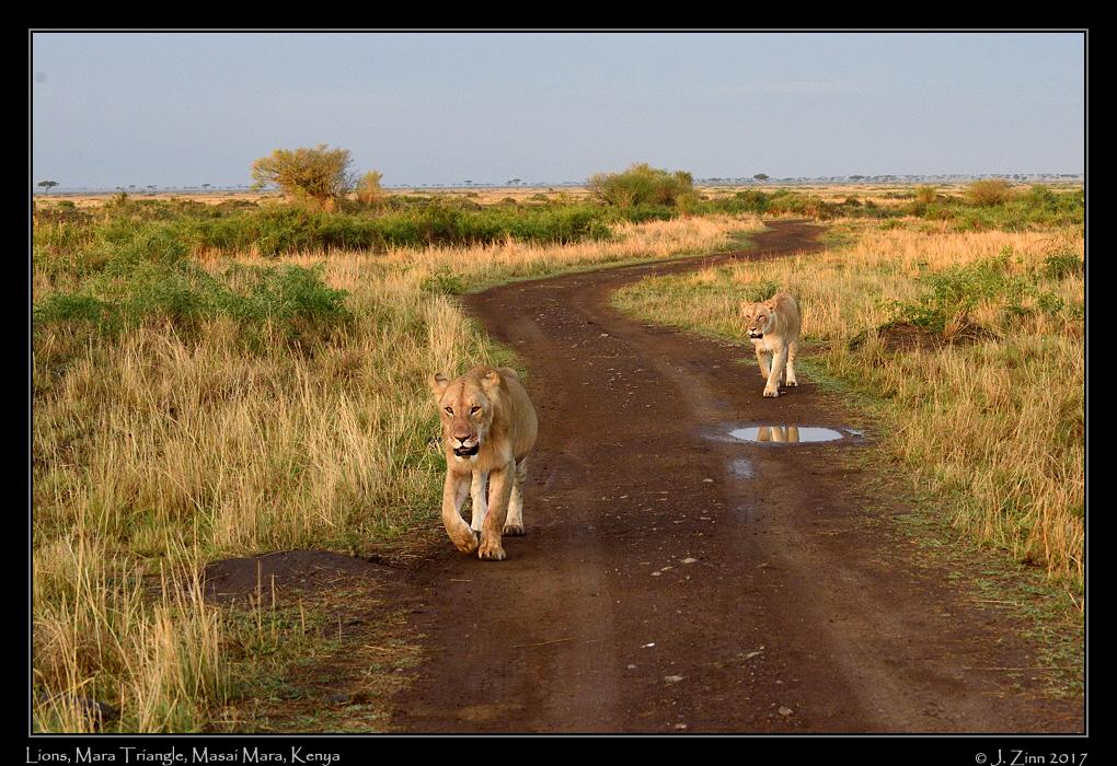 lion_JCZ_0946a.jpg
