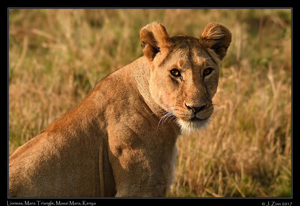 lion_JZ5_3830a.jpg