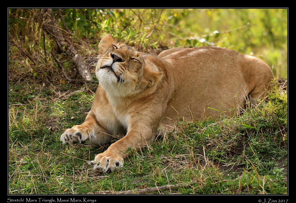lion_JZ5_4841a.jpg