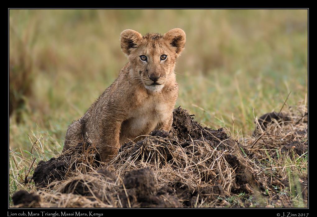 lion_JZ5_5082a.jpg