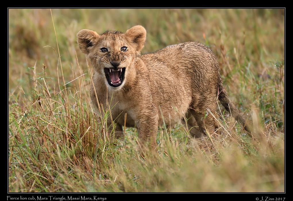 lion_JZ5_5100a.jpg