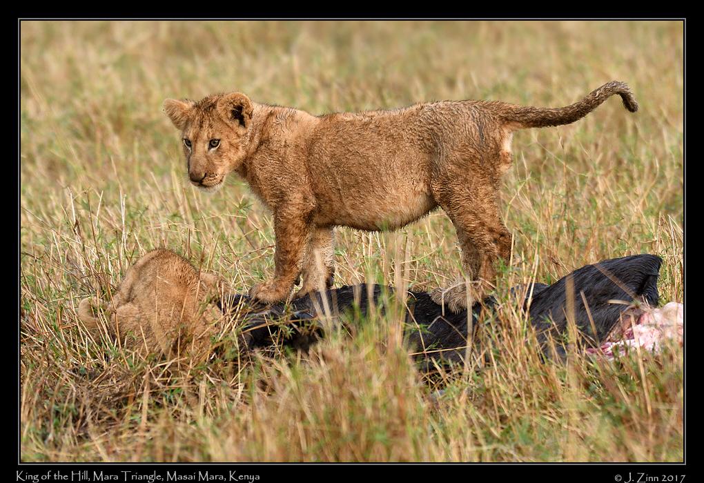 lion_JZ5_5121a.jpg