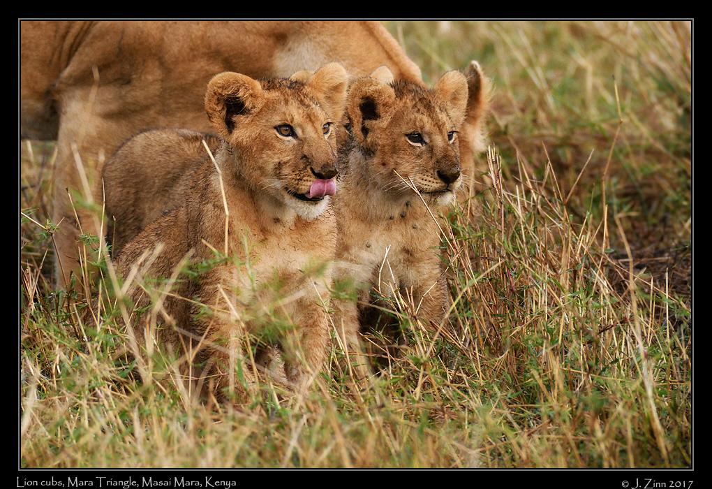 lion_JZ5_5161cfx.jpg