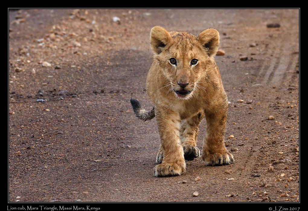 lion_JZ5_5360a.jpg