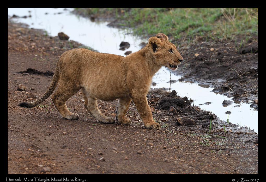 lion_JZ5_5375a.jpg