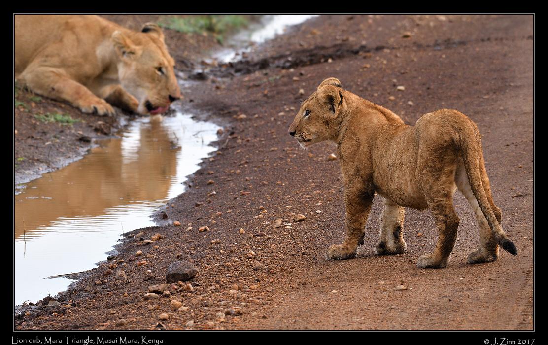 lion_JZ5_5396a.jpg