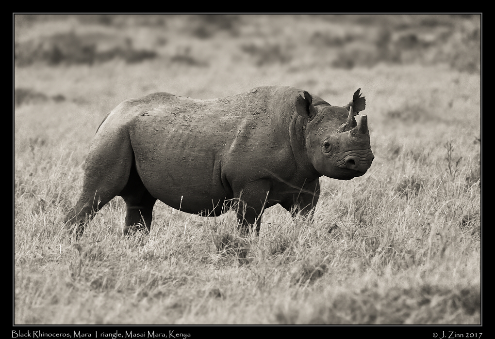 black_rhino_2487a.jpg