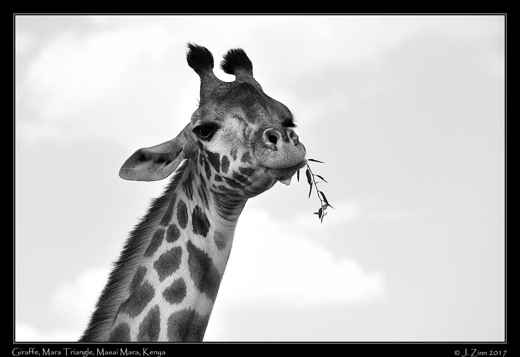 giraffe_0730bwa.jpg