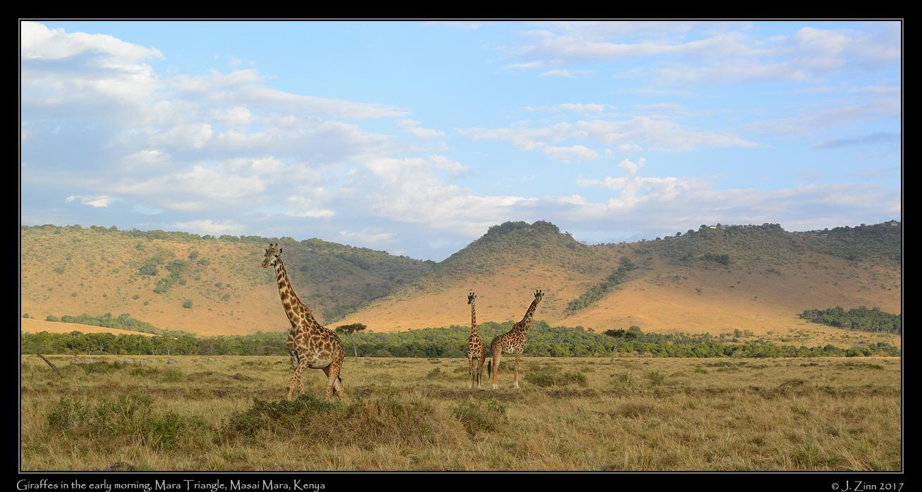 giraffes_8408b.jpg