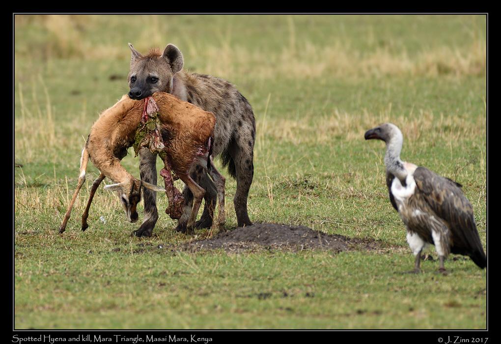 spotted_hyena_5495a.jpg
