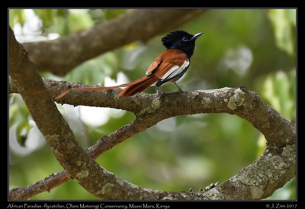 african_paradise_flycatcher_7102a.jpg