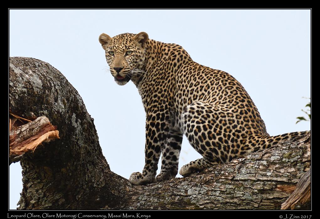 leopard_JZ5_7450a.jpg
