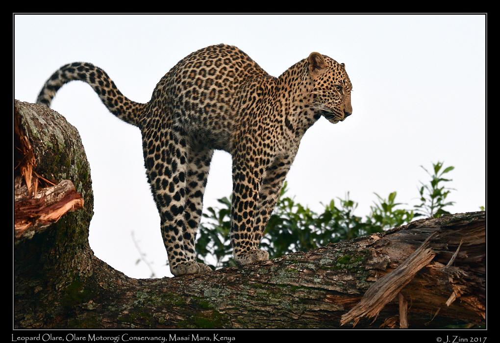 leopard_JZ5_7948a.jpg