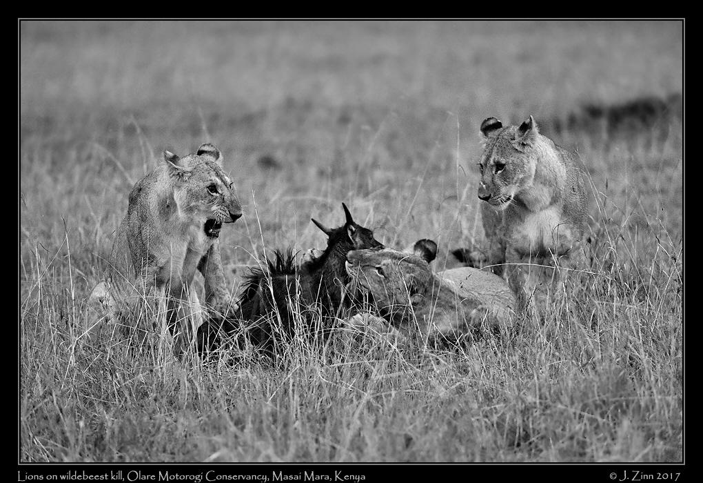 lion_JCZ_9414bwa.jpg