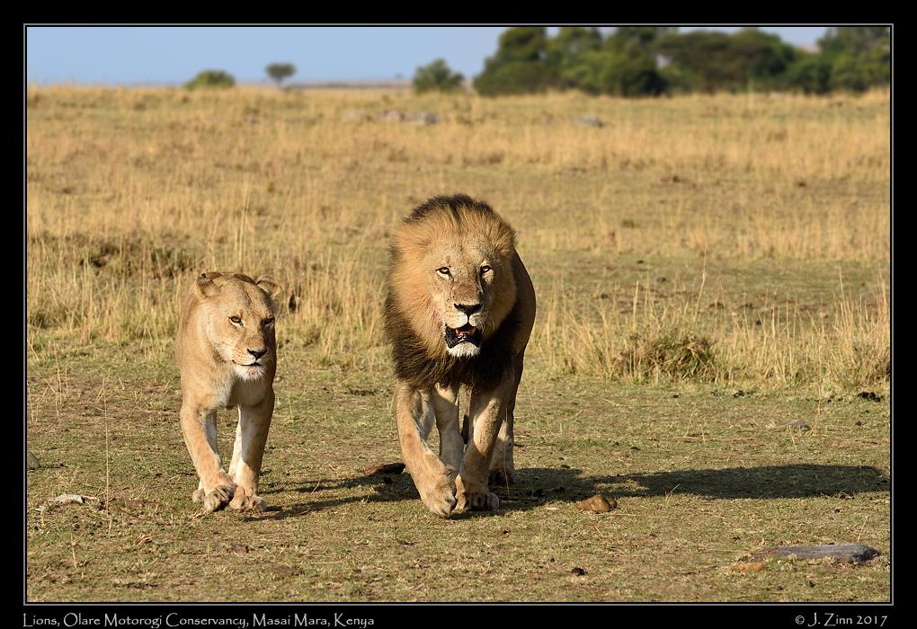 lion_JCZ_9634a.jpg