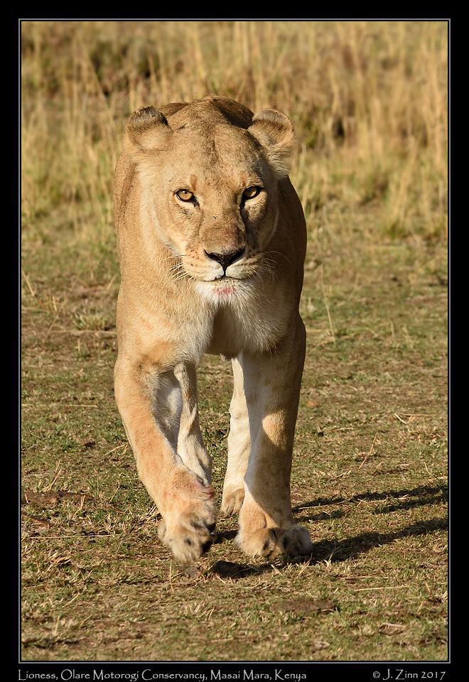 lion_JCZ_9639a.jpg