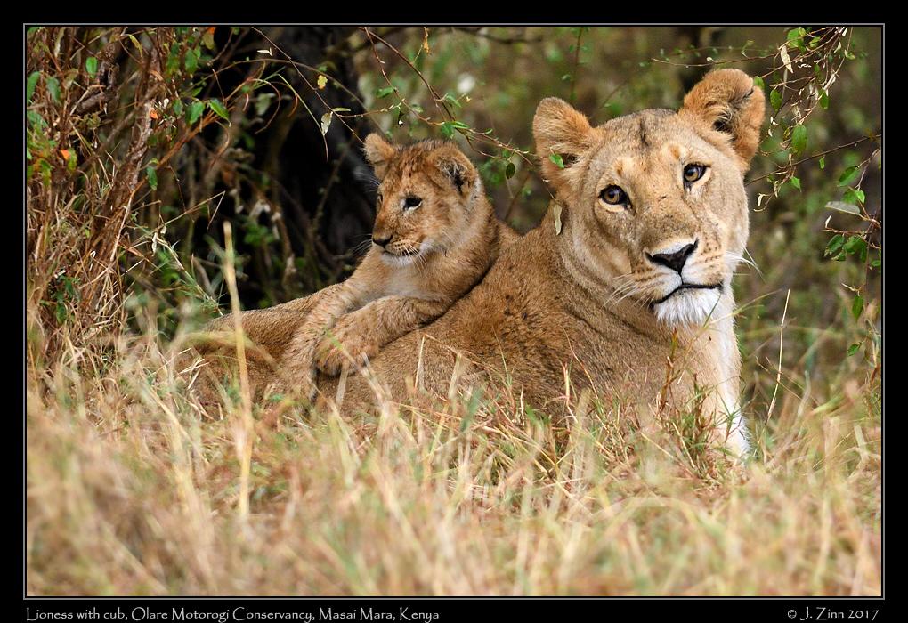 lion_JZ5_7797a.jpg