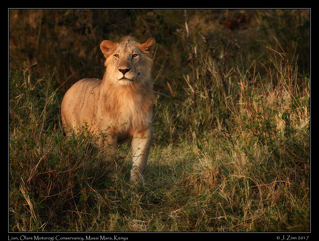 lion_JZ5_8067a.jpg