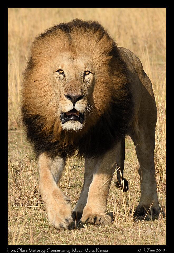 lion_JZ5_8331b.jpg