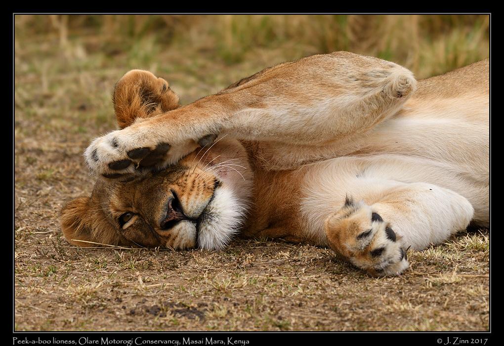 lion_JZ5_9042a.jpg