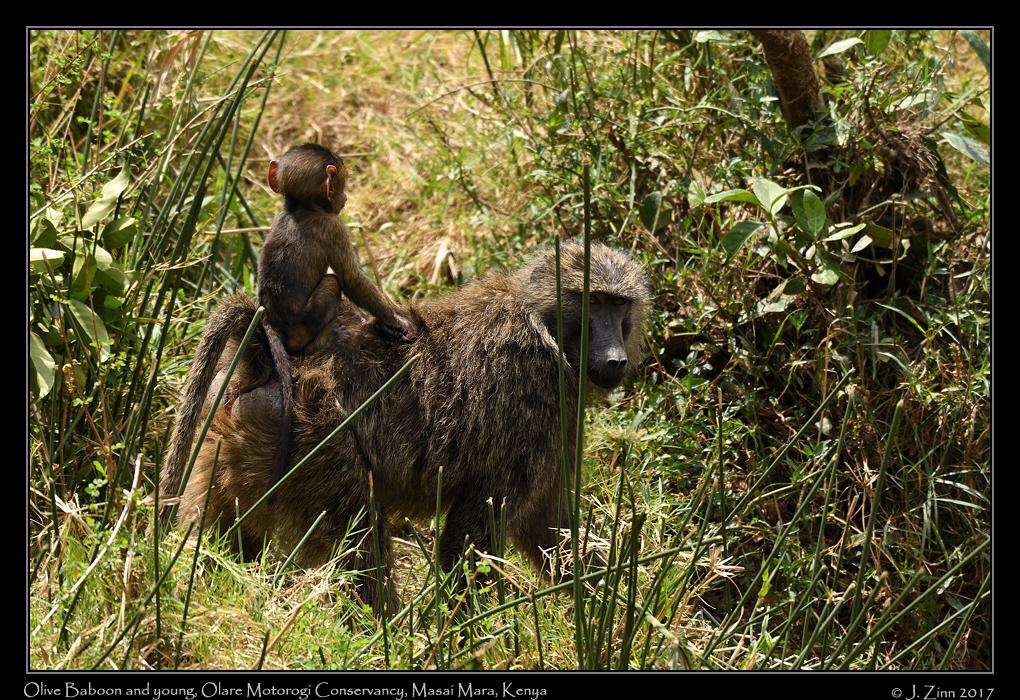 baboon_9463a.jpg