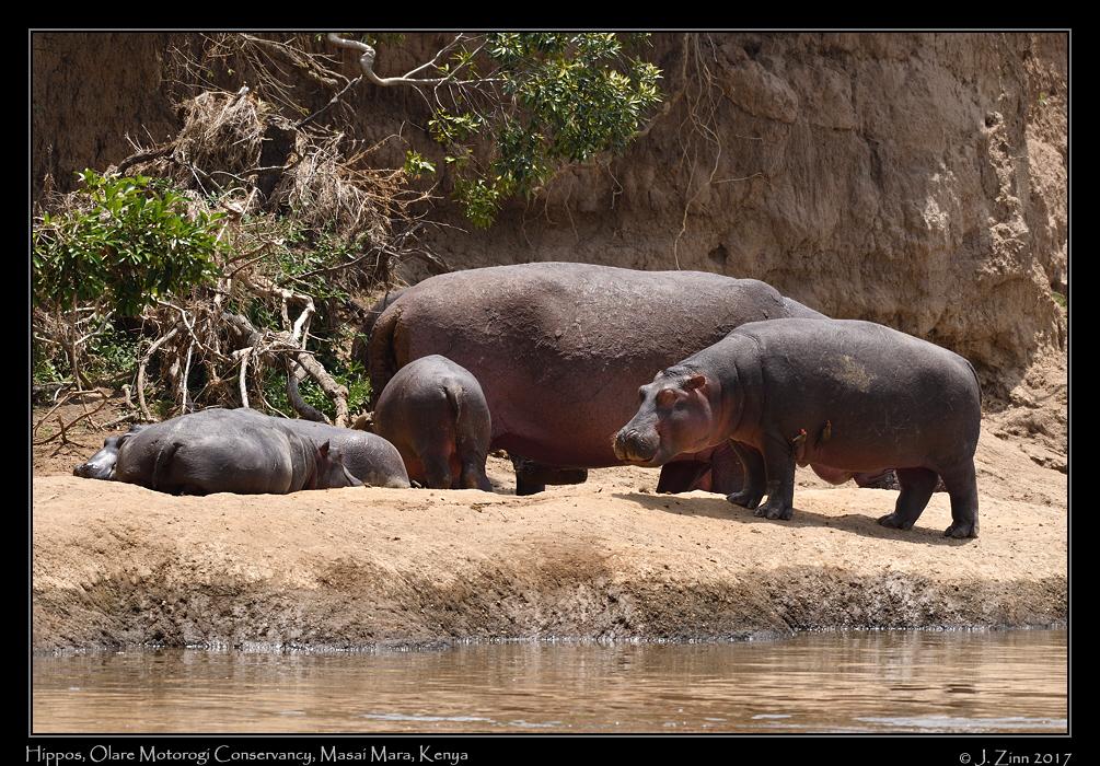 hippos_8854a.jpg