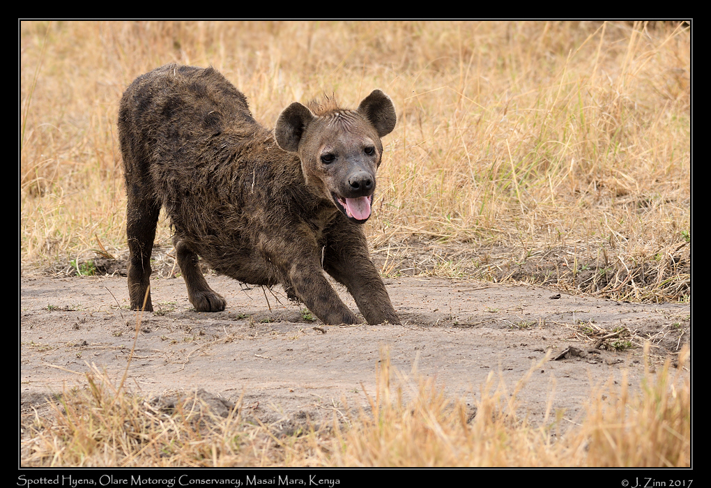 spotted_hyena_8509a.jpg