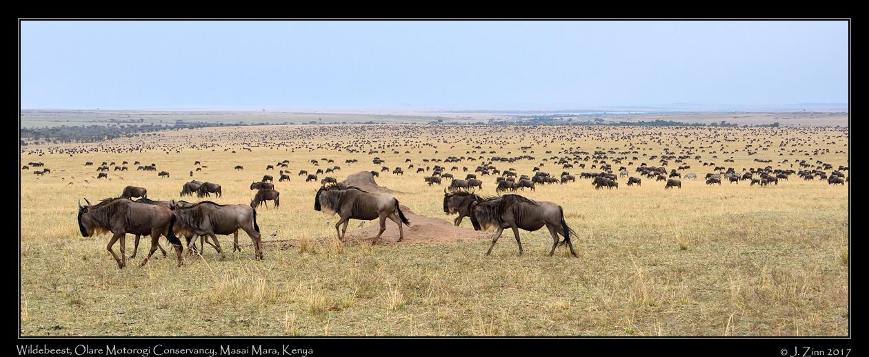 wildebeest_9880_dxob.jpg