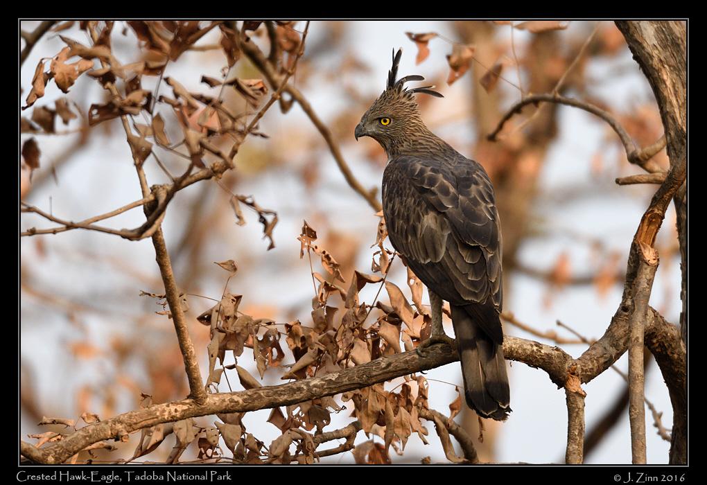 crested_hawk_eagle_5225a.jpg