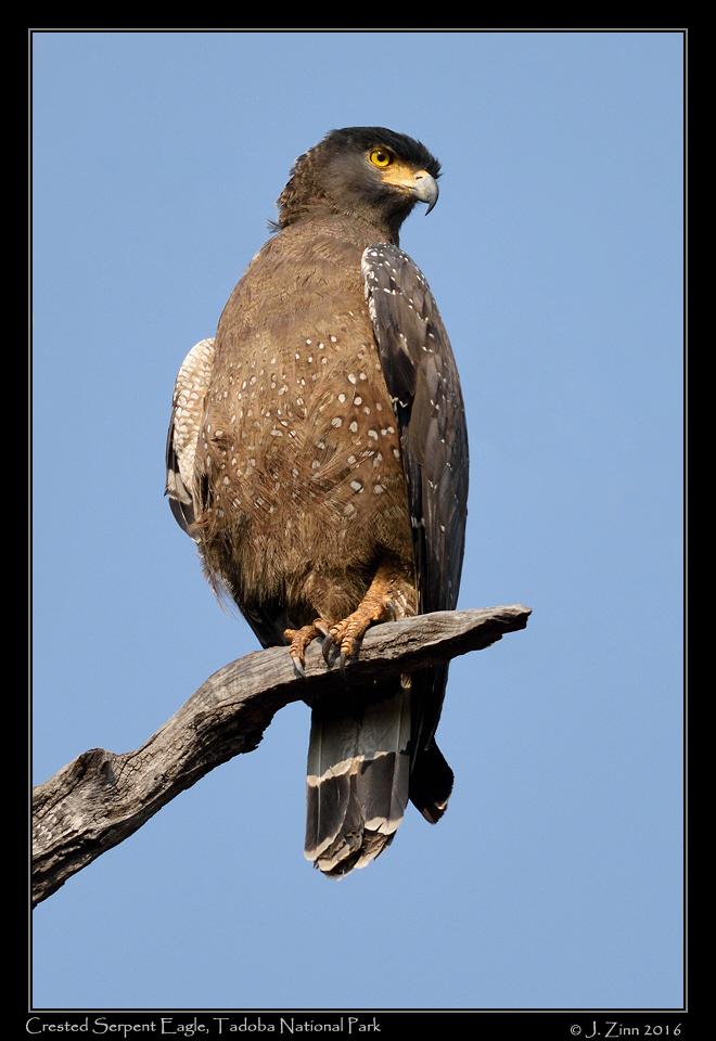 crested_serpent_eagle_3993b.jpg