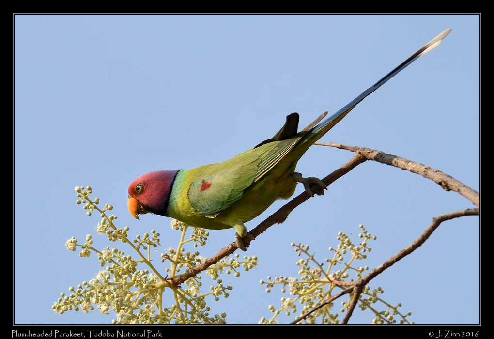plum_headed_parakeet_3895b.jpg