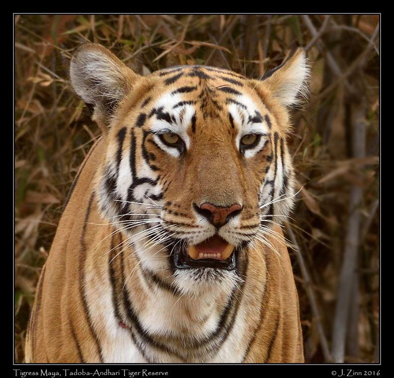 tiger_JCZ_3614c.jpg