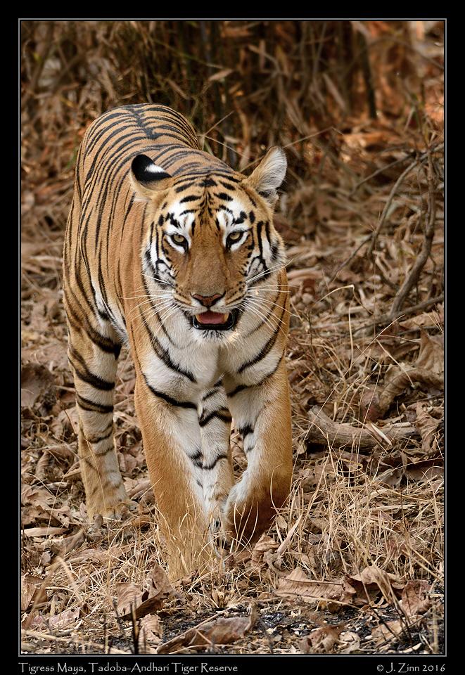 tiger_JCZ_3642a.jpg