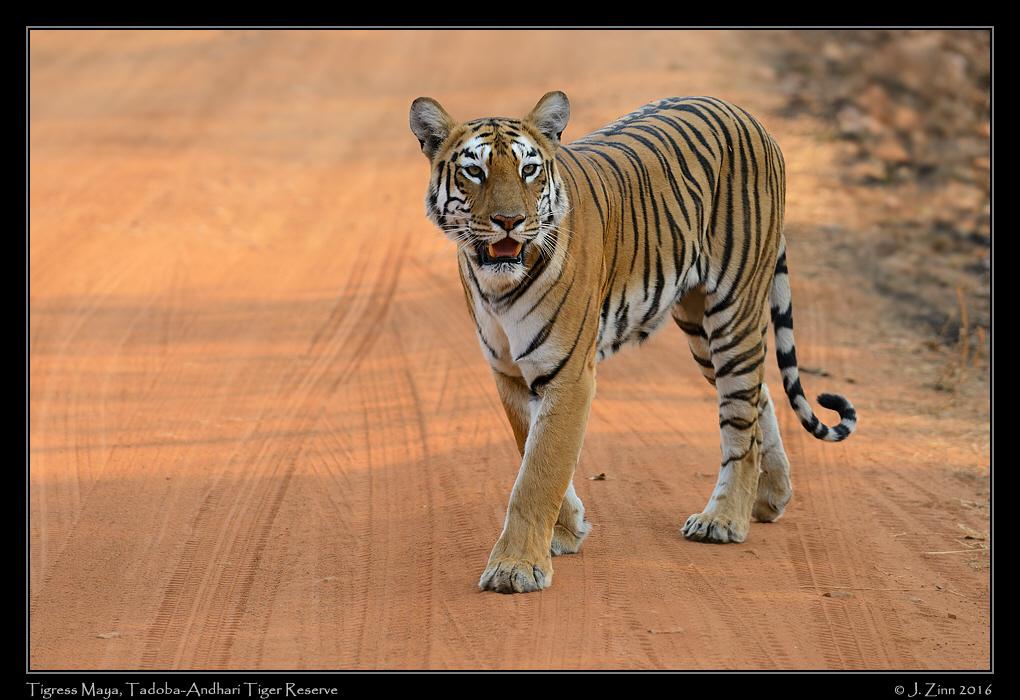 tiger_JZ1_8174b.jpg